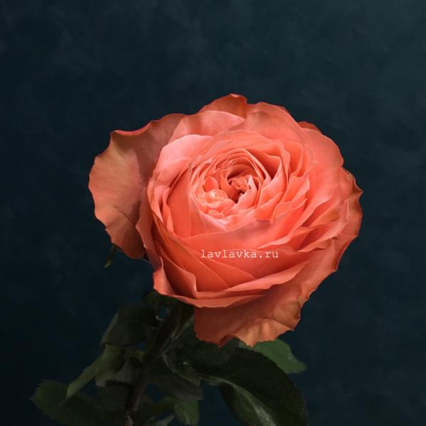 Роза пионовидная кахала 40 см, оранжевая роза, пионовидная роза, роза кахала, роза пионовидная, терракотовая роза,