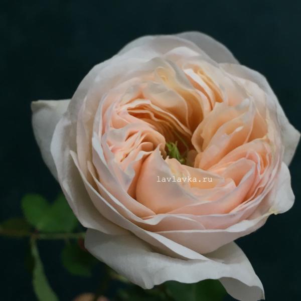 Роза пионовидная тинкербелл 50 см, кремовая роза, персиковая роза, пионовидные розы, роза пионовидная, роза тинкербелл, розы,