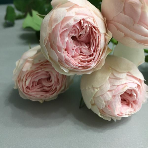 Роза кустовая  пионовидная мэнсфилд парк 50-60 см, пионовидная кустовая роза, роза менсфилд парк, роза пионовидная, розовая роза пионовидная,