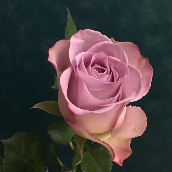 Роза мемори лейн 50 см, роза, роза мемори лейн, сиренвая роза, цветы на 14 февраля, цветы на 8 марта,