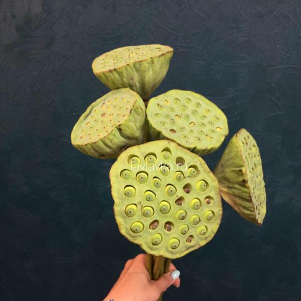 Лотос, лотос, цветок лотоса,
