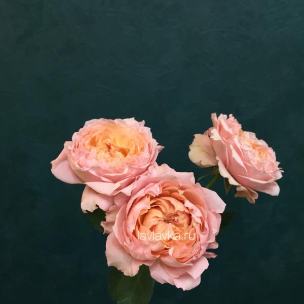 Роза кустовая пионовидная джульетта 50 см, кустовая пионовидная роза, пионовидная роза, роза джульетта, роза кустовая,