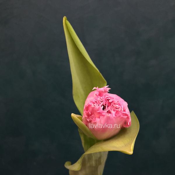 Тюльпан фр сантендер (махровый), махровый тюльпан, розовый тюльпан, тюльпан сантендер,
