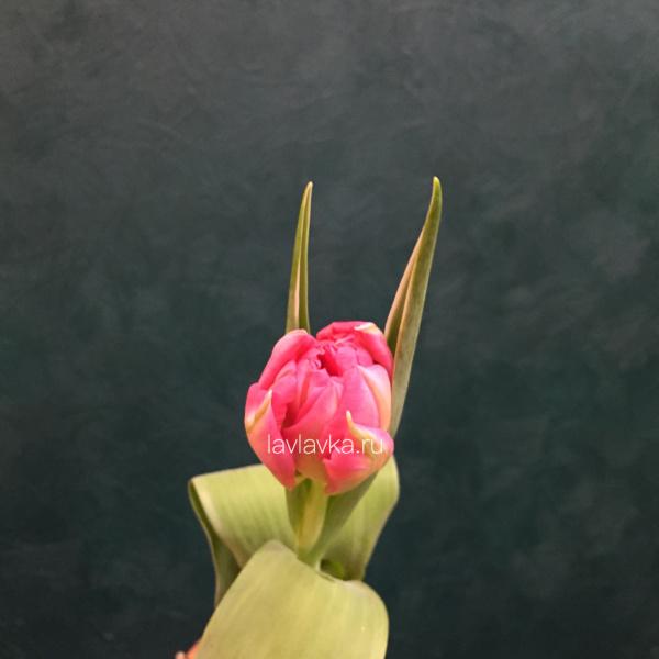 Тюльпан пионовидный розовый, махровый тюльпан, пионовидный тюльпан, тюльпан, тюльпан розовый, тюльпаны,