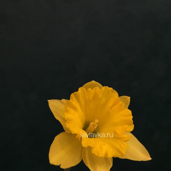 Нарцисс желтый, нарцисс, нарцисс желтый,