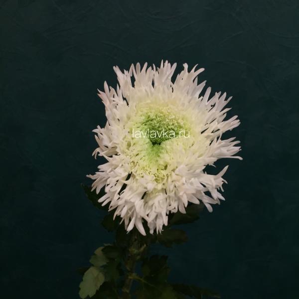 Хризантема стандартная Этруско вайт, белая хризантема, хризантема махровая, хризантема одноголовая, хризантема стандартная,