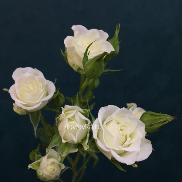 Роза кустовая Сноуфлейк 70 см, букет из белых кустовых роз, букет из кустовых роз, моно букет, роза, роза кустовая, роза кустовая белая, роза сноуфлейк,