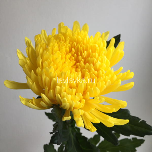 Хризантема стандартная Петр желтая, букет из хризантем, желтые хризантемы, хризантема желтая, хризантема одноголовая,